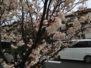 桜、咲く頃