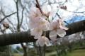 ちらほら咲き-3