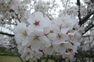 桜・満開-1