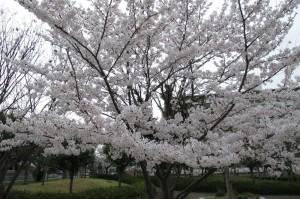 桜・満開-2